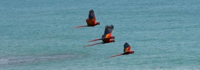 scarlet macaws at the beach
