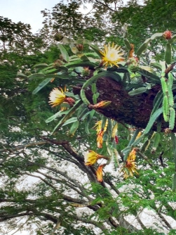 dragon fruit cactus Pitahaya
