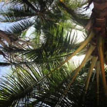 Palm tree in punta leone