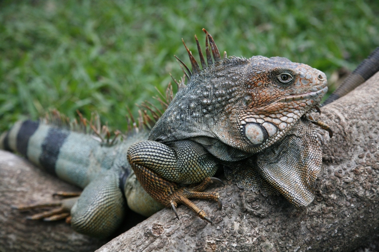 this is an iguana at zoo ave